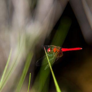 ハッチョウトンボ(八丁蜻蛉、学名:Nannophya pygmaea )