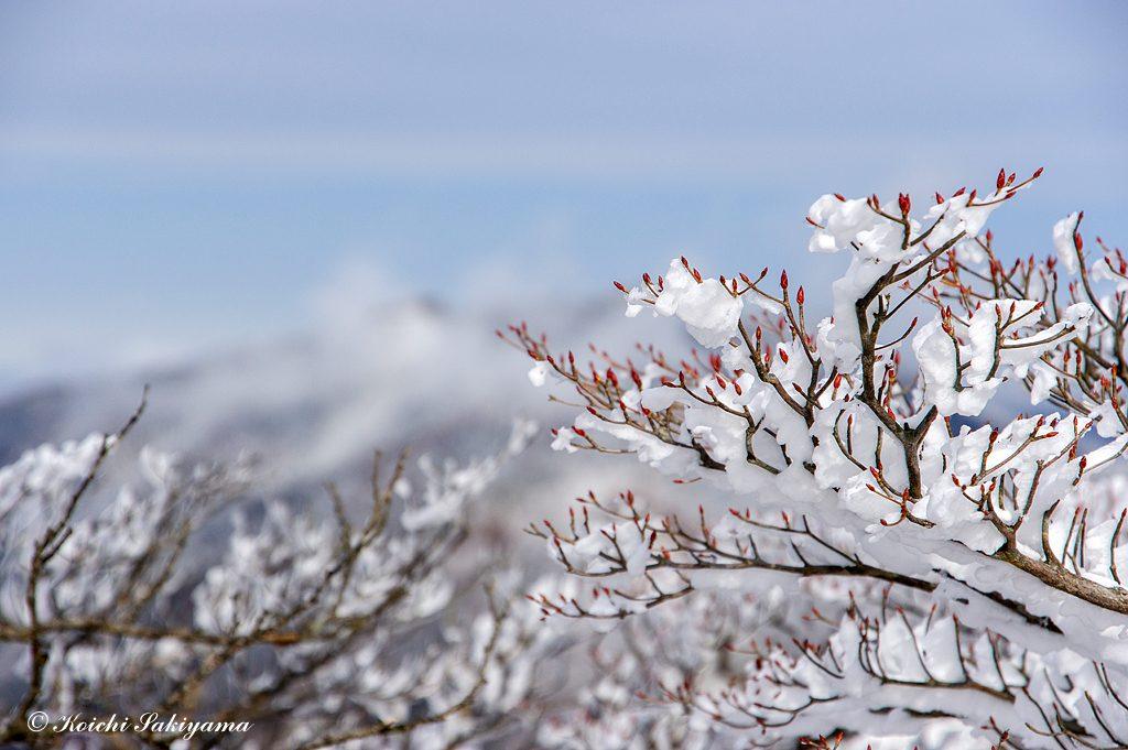 シロヤシオの芽吹きと霧氷が良く似合う