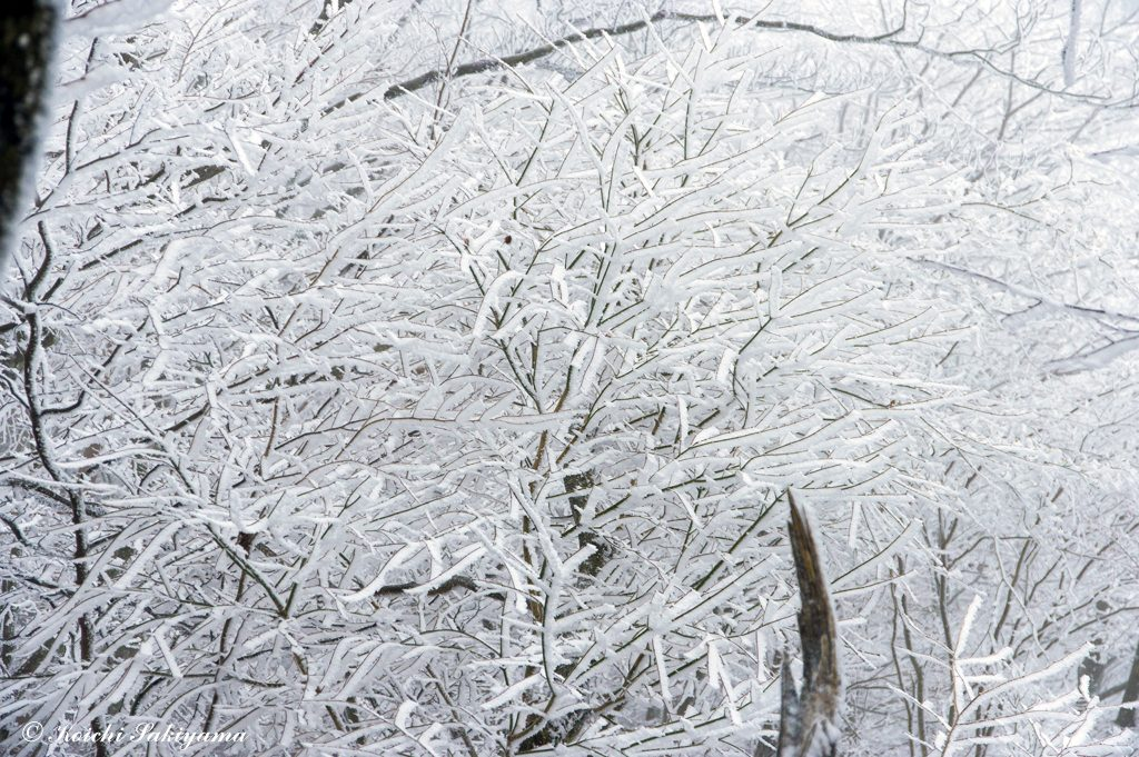 霧氷乱舞…姿の良い霧氷がびっしり