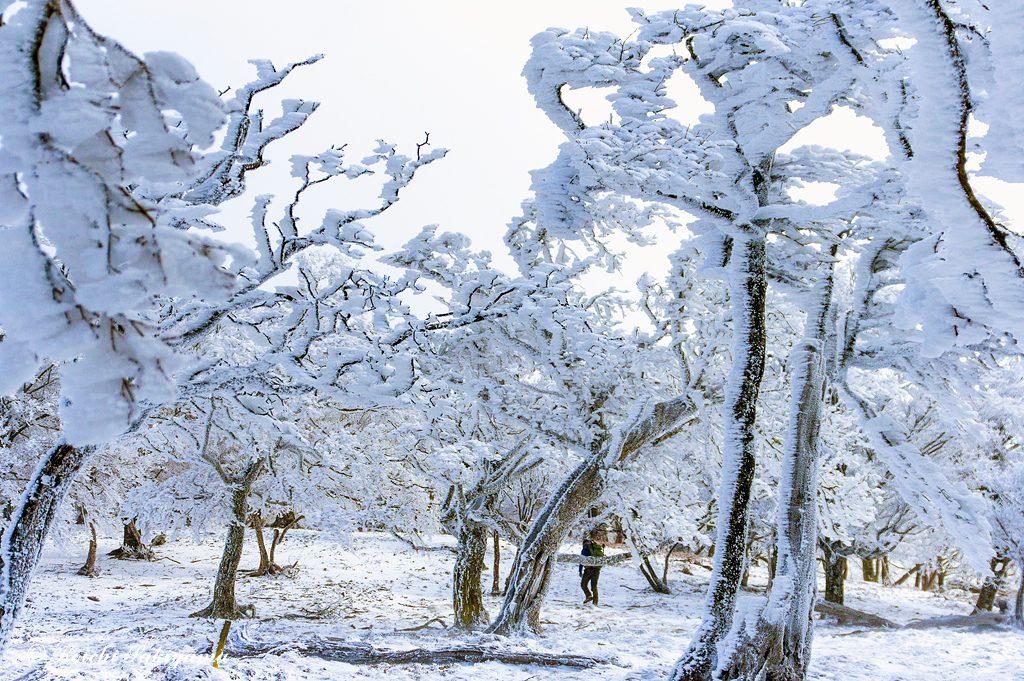 風の通り道は背の低い木々が多く、霧氷も一回り大きく育っています。