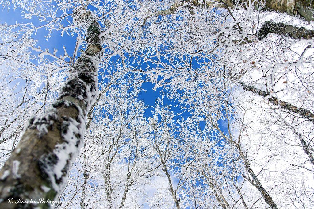 一瞬のぞく青空を霧氷越しに見上げる。