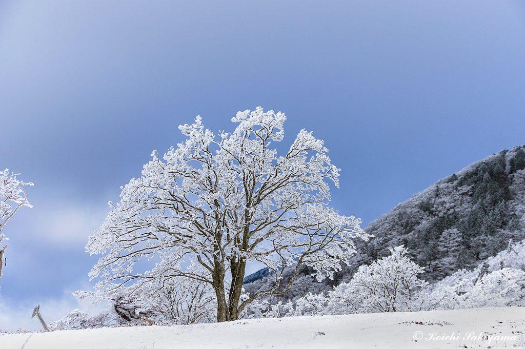 ほんのり明神ブルーに染まる空と霧氷