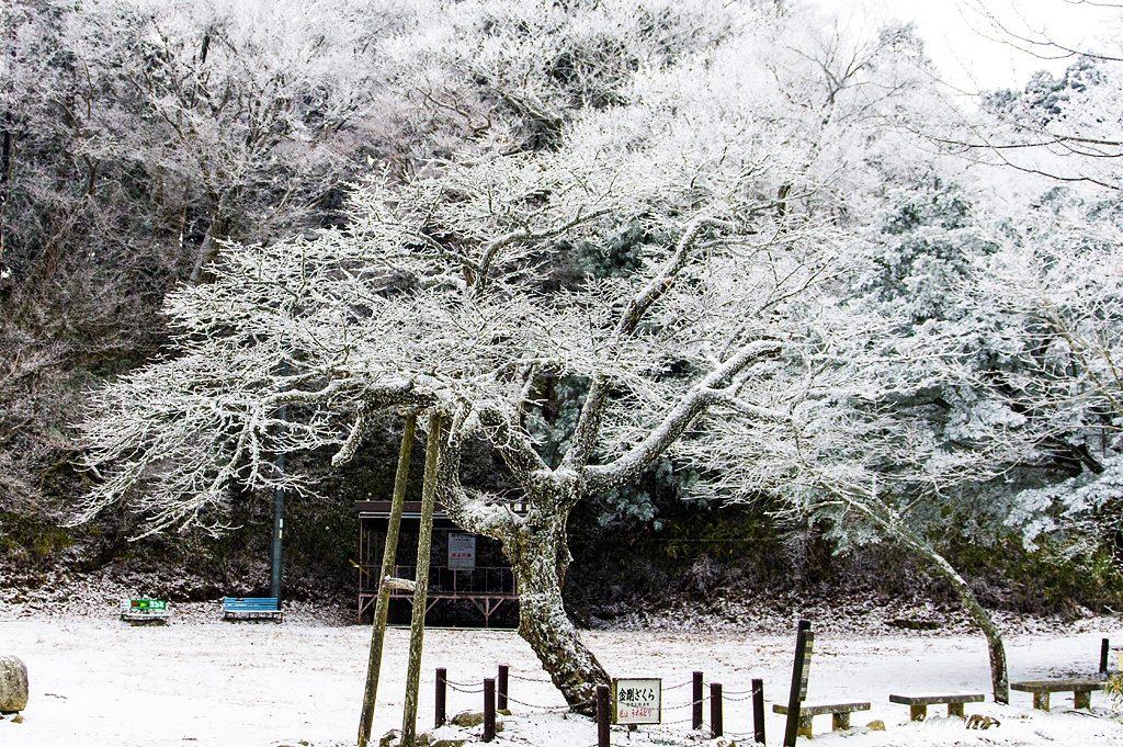 金剛桜も霧氷が付き白花が咲いているようです。