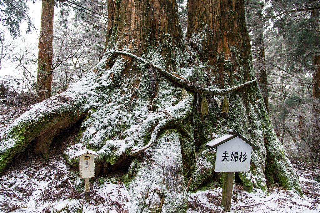 夫婦杉も苔に霜が付き冬景化粧
