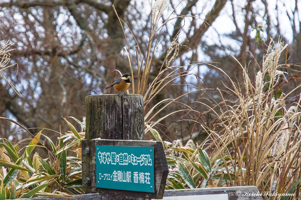 金剛山の野鳥は人が餌をやるので慣れています。自然保護の観点からは良いことではないのですが…