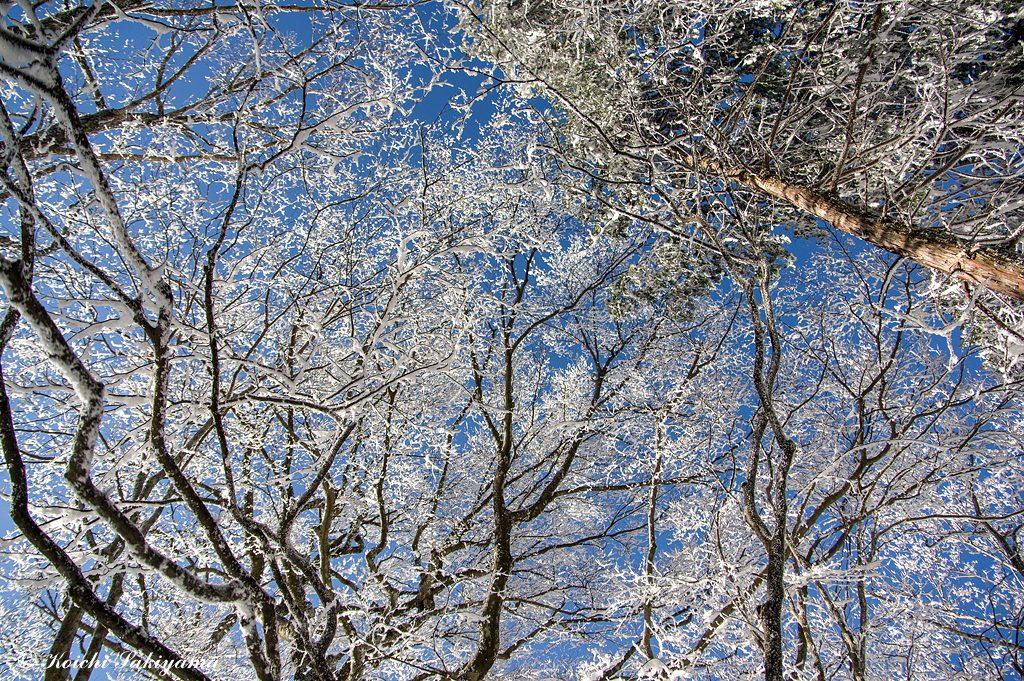 尾根道に上がると霧氷と青空