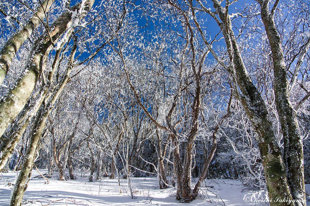 坪の内林道側の斜面は南側になるので、お天気が良いと霧氷が融け落ちるのも早いようです。