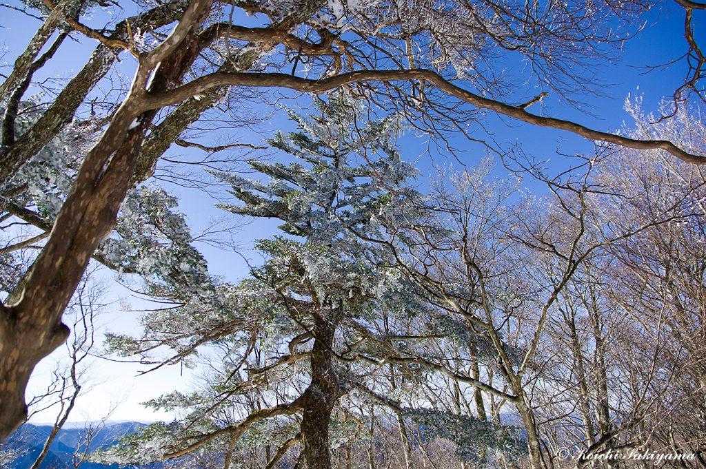 ひと際美しい針葉樹につく霧氷
