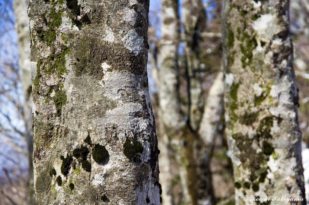 好きなブナの木肌を見ながら冬の日差しを楽しみました。