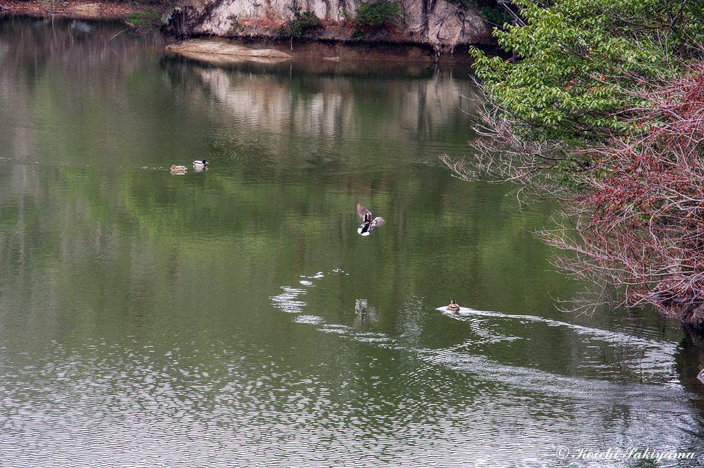 この時期、白旗池にはオシドリが飛来しているのですが、残念ながら確認できず。