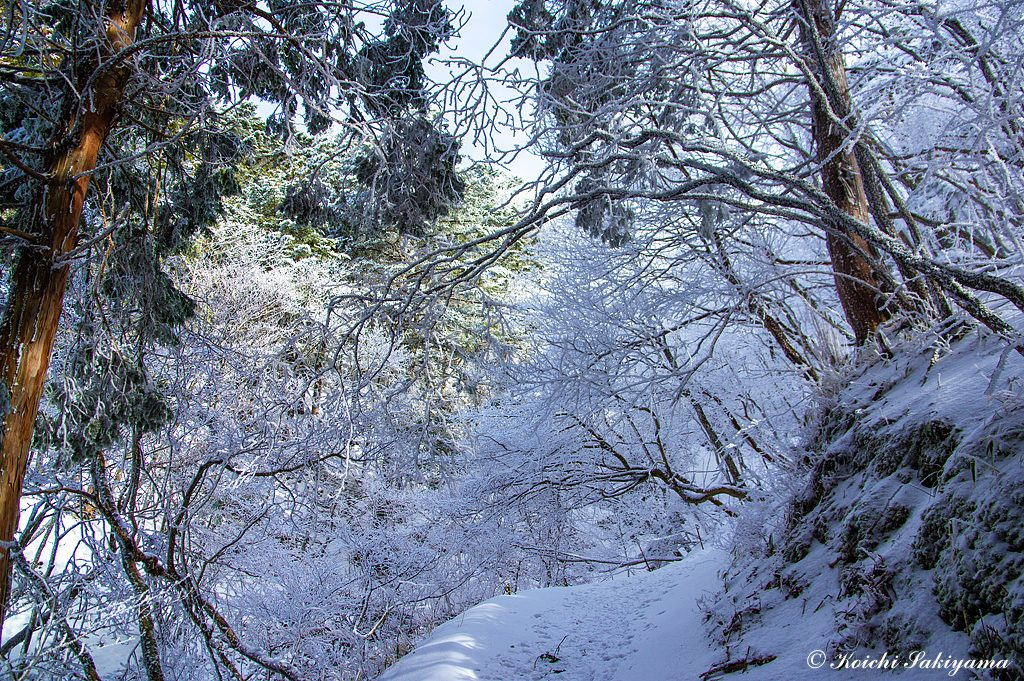 植林地を抜け尾根道に近づくと見事な霧氷の世界へ