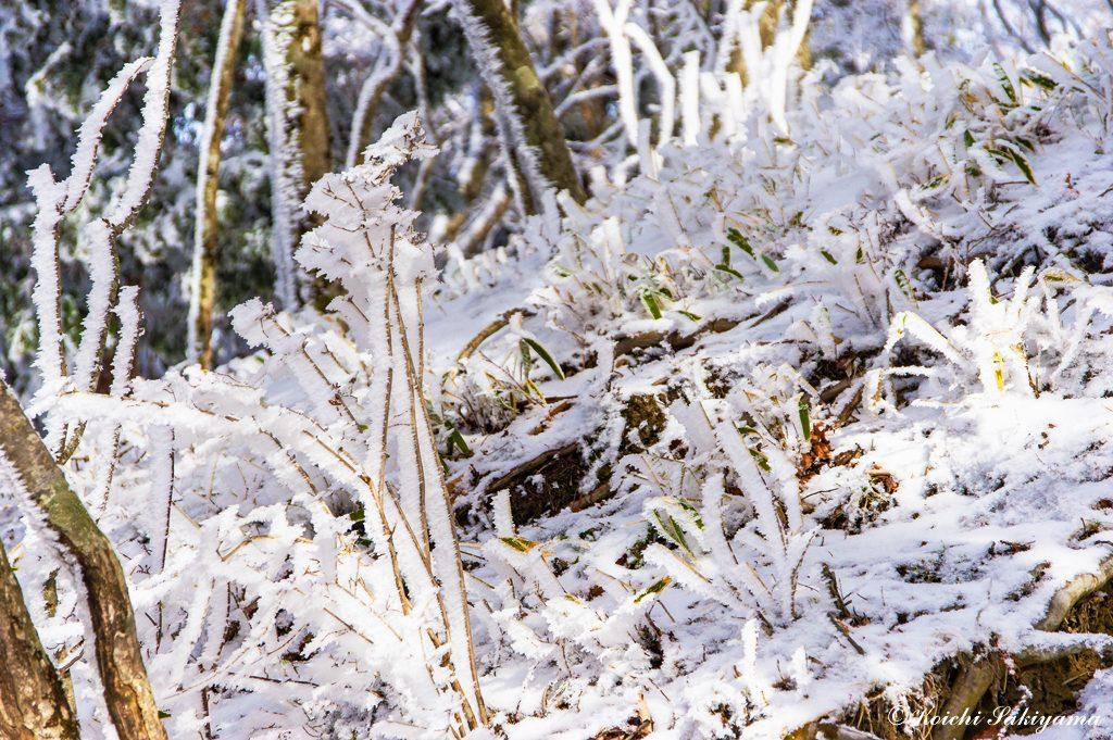 林床も霧氷のついた低木や草で賑っています。