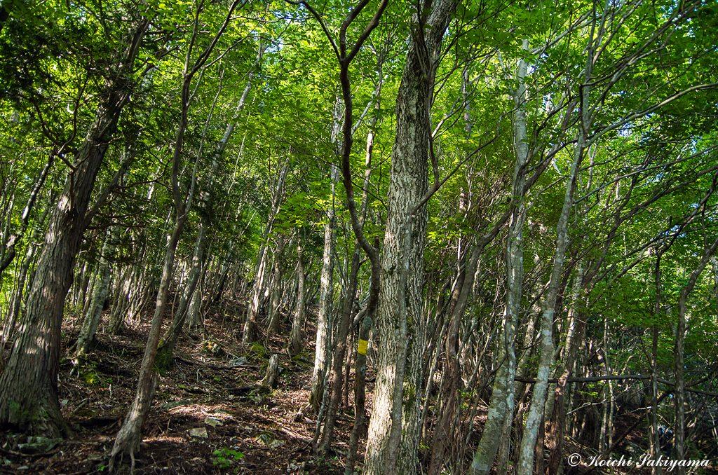 落葉広葉樹の素晴らしい森を登って行きます