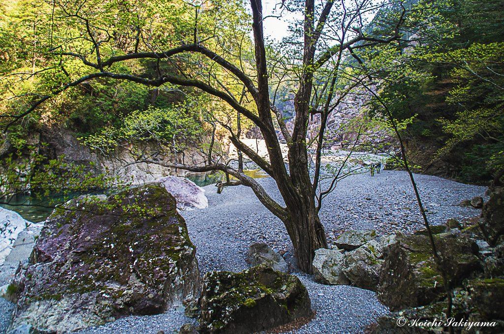 この河原のシンボル…大きなサワグルミ