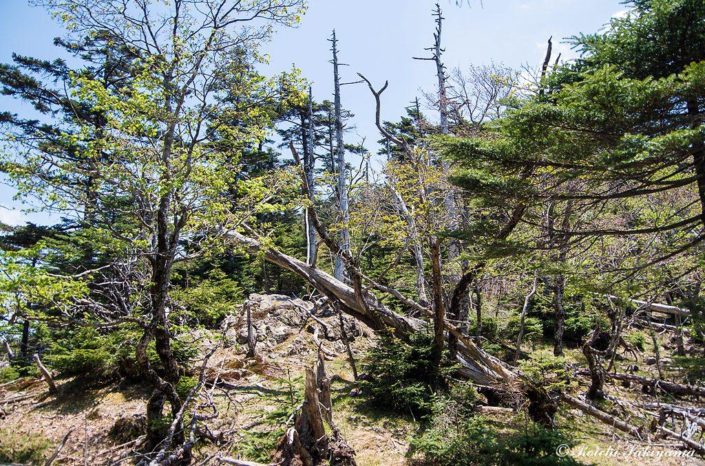 修復山周辺は、倒木も多く荒れています。