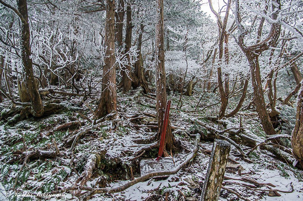 小普賢岳直下は霧氷の森