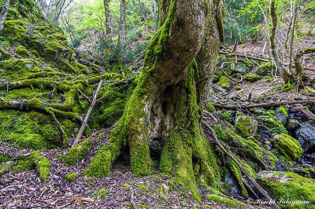 木々にも苔がまとわり付く