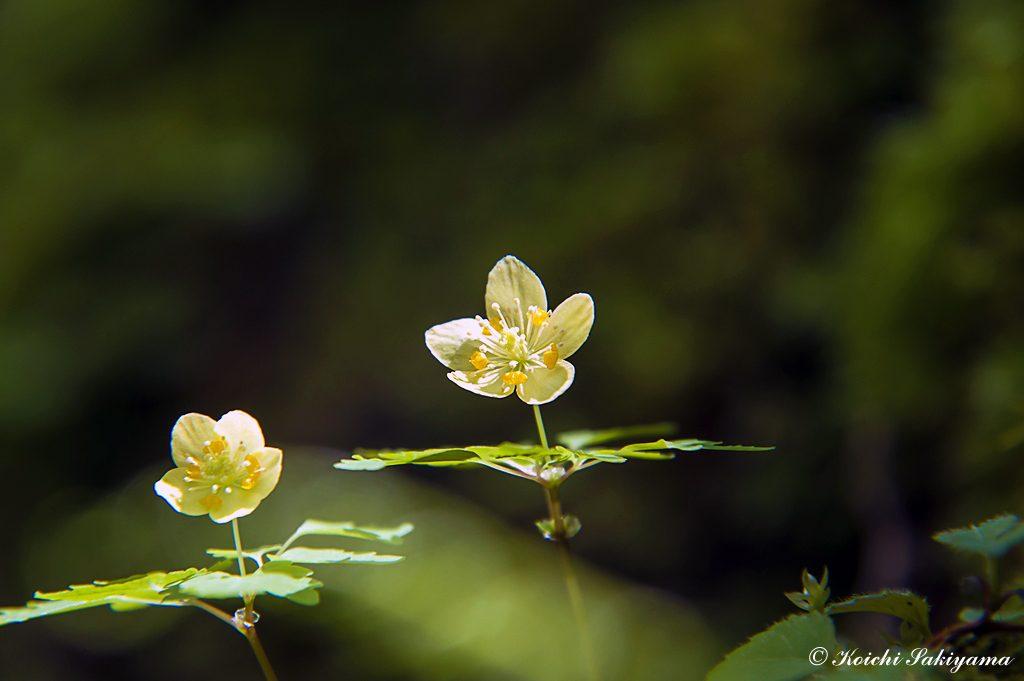 キバナサバノオ(黄花鯖の尾、学名:Dichocarpum pterigionocaudatum)