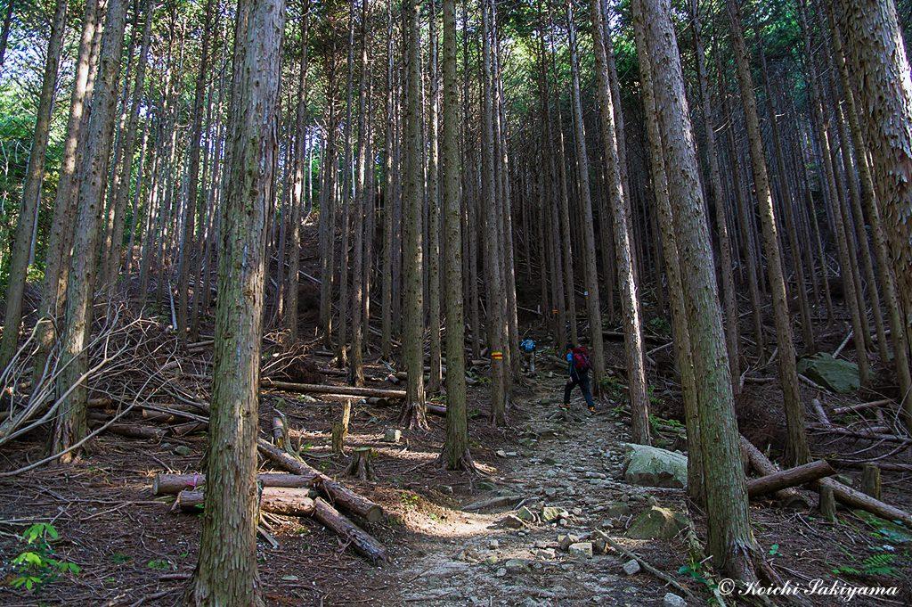 尾根に乗るまで植林地の急登が続く