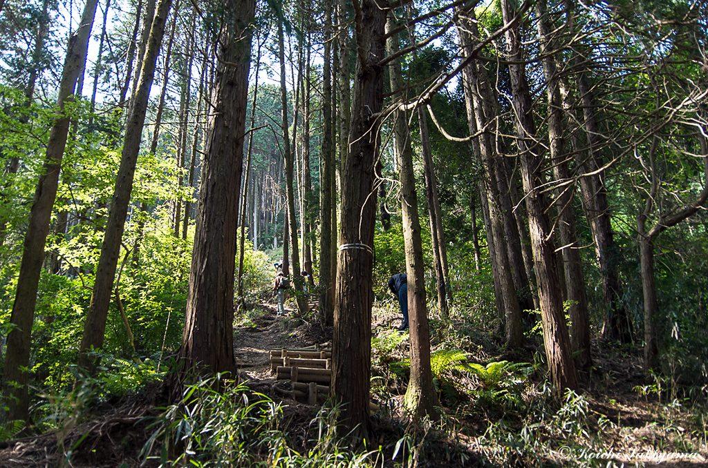 登山道は主に植林地を通り登って行きます