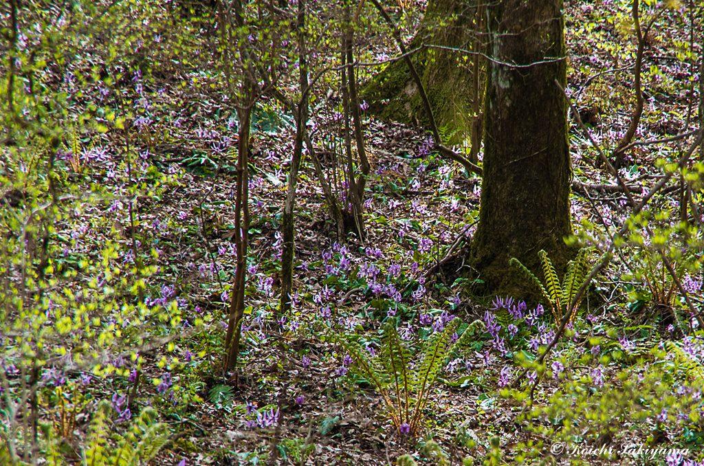 カタクリ(片栗、学名:Erythronium japonicum Decne.)