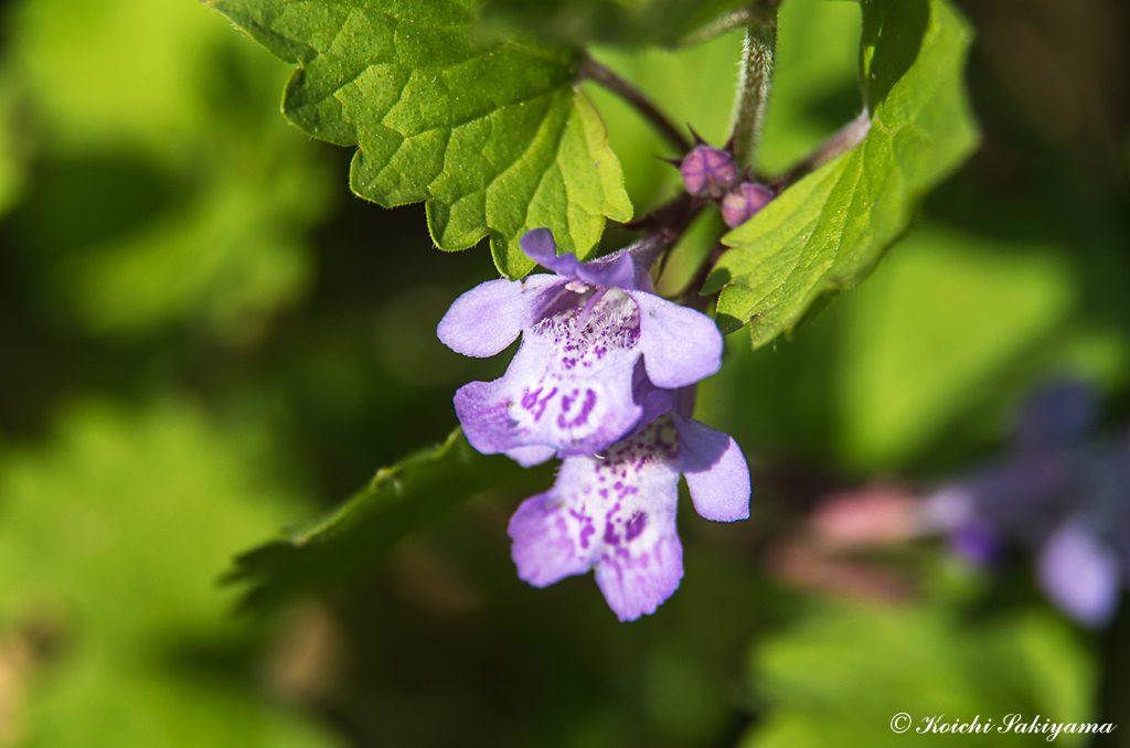カキドオシ(垣通し、学名:Glechoma hederacea subsp. grandis)