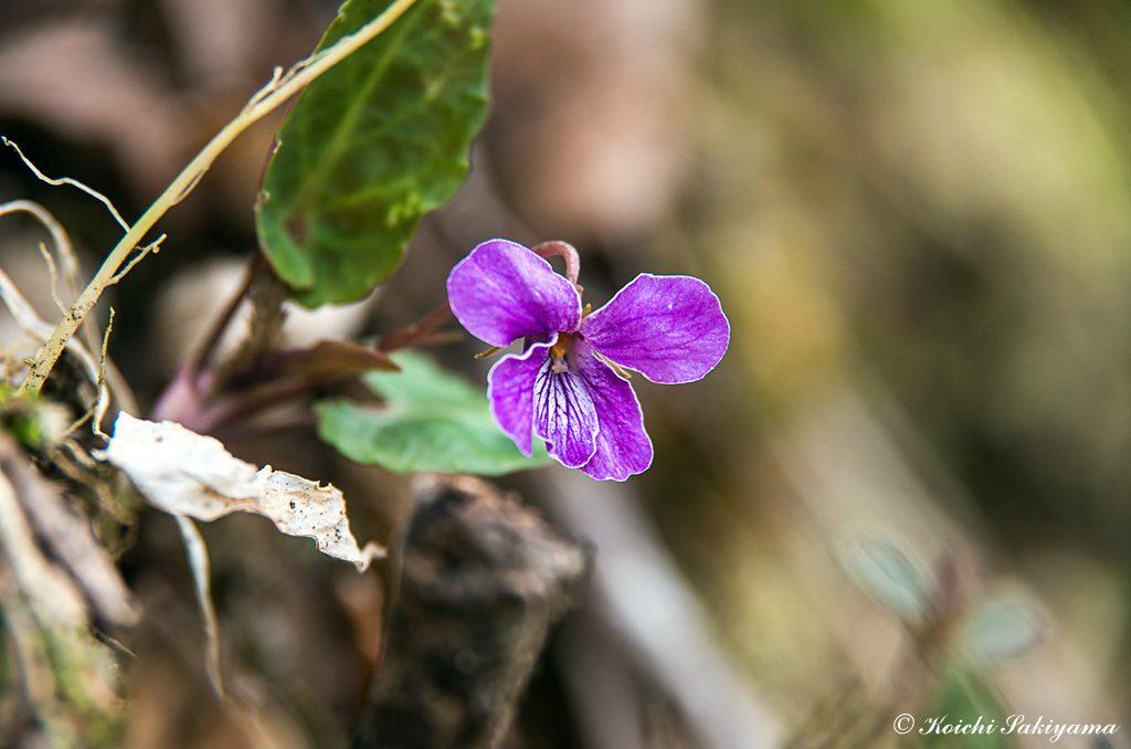 シハイスミレ(紫背菫、学名:Viola violacea Makino)