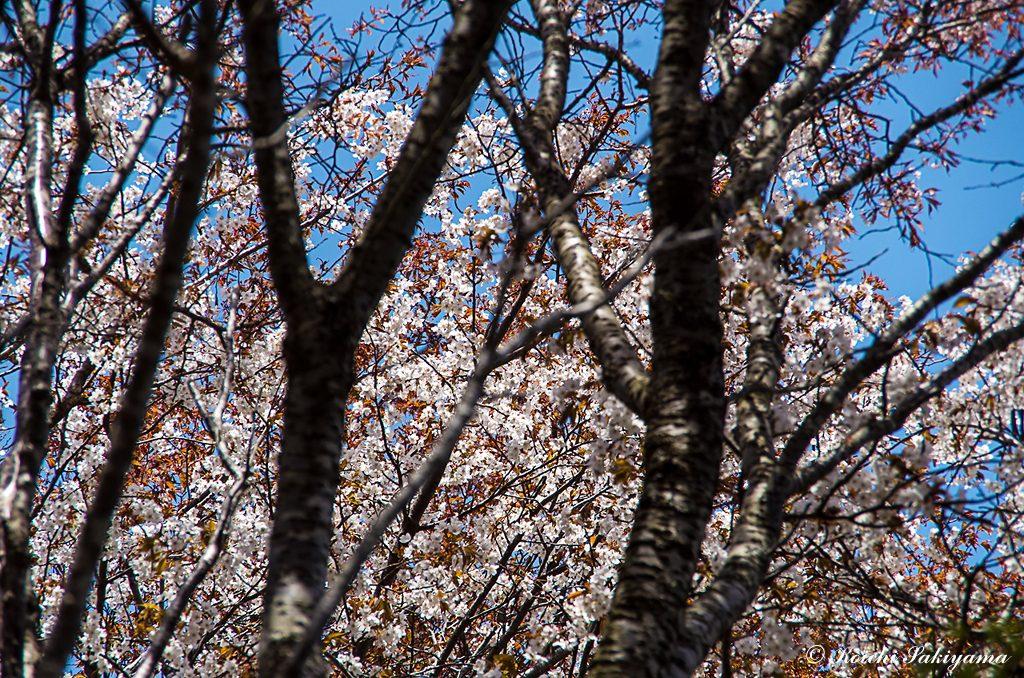 ヤマザクラ(山桜、学名:Cerasus jamasakura)