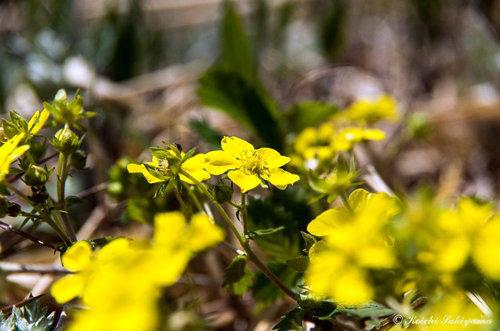キジムシロ(雉莚、雉蓆、学名: Potentilla fragarioides var. major)