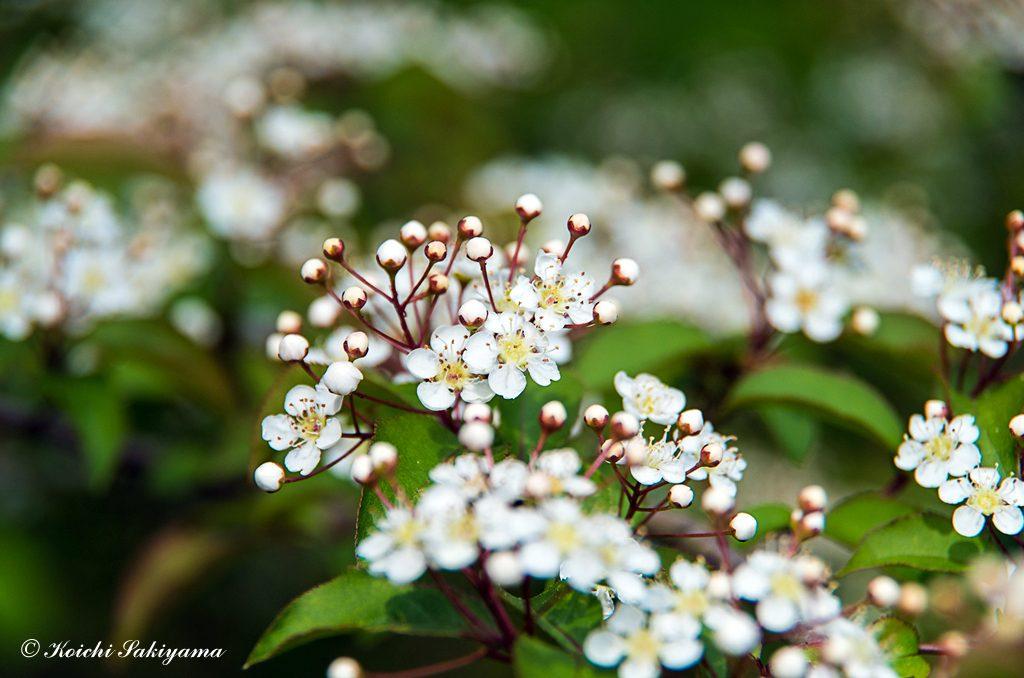 カマツカ(鎌柄、学名:Pourthiaea villosa var. laevis)