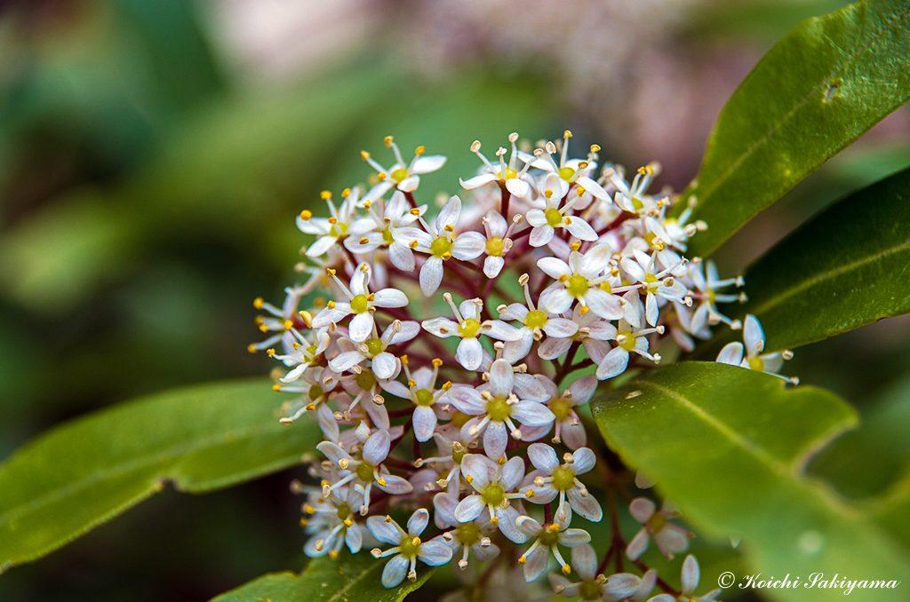 ミヤマシキミ(深山樒、学名: Skimmia japonica)