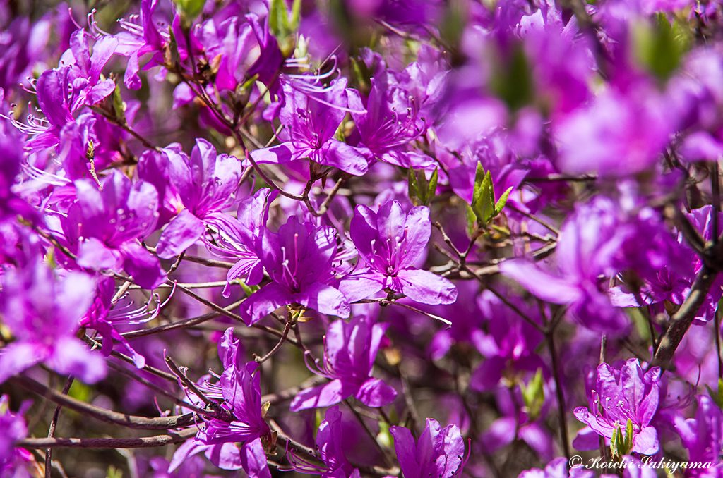 ミツバツツジ(三葉躑躅、学名:Rhododendron dilatatum)