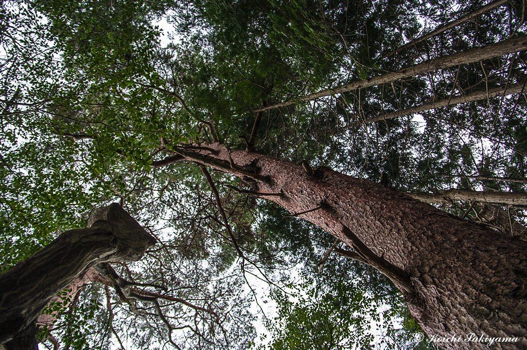 立派な赤松の木