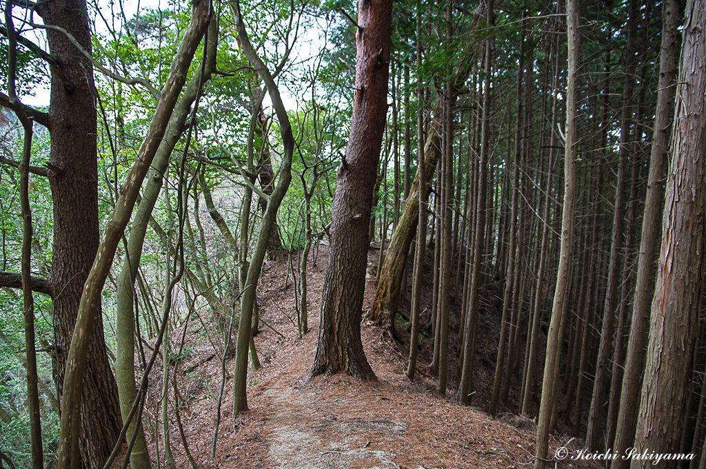 松の木道に相応しく松の大木