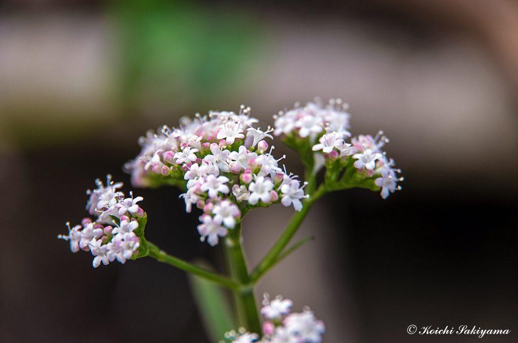 ツルカノコソウ(蔓鹿の子草、学名:Valeriana flaccidissima Maxim.)