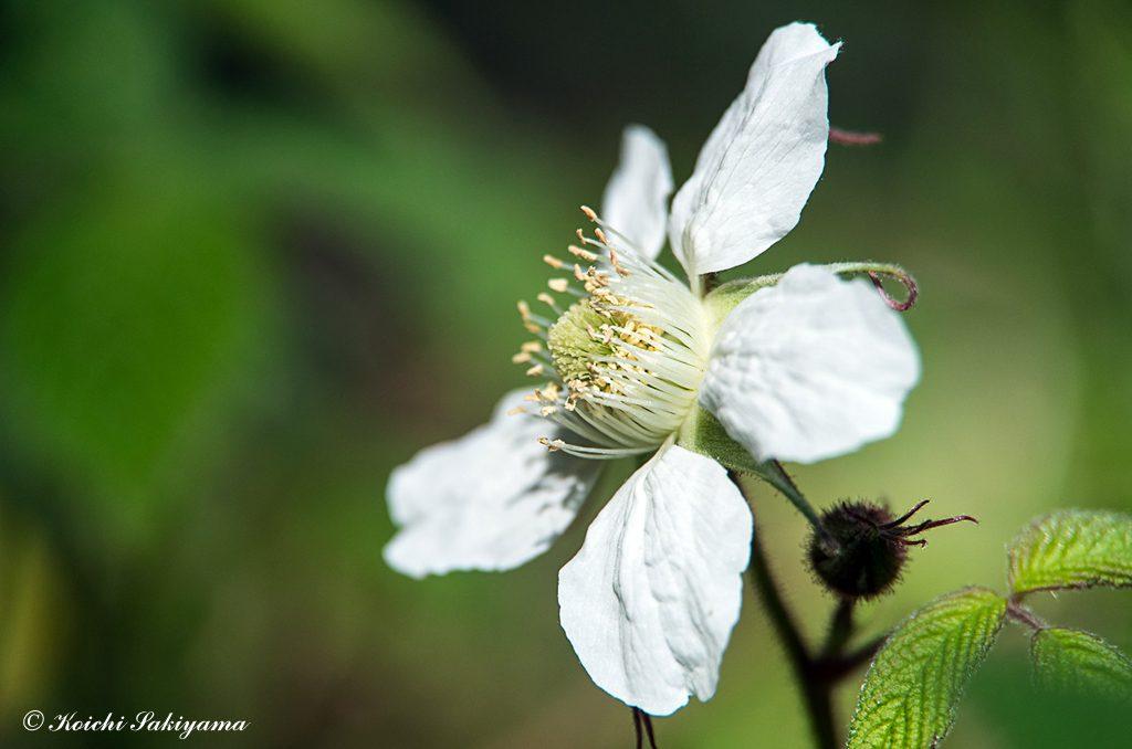 クサイチゴ(草苺、学名: Rubus hirsutus)