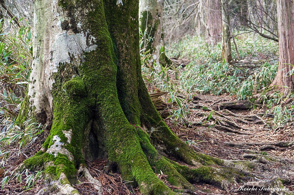 幹にも苔がびっしり
