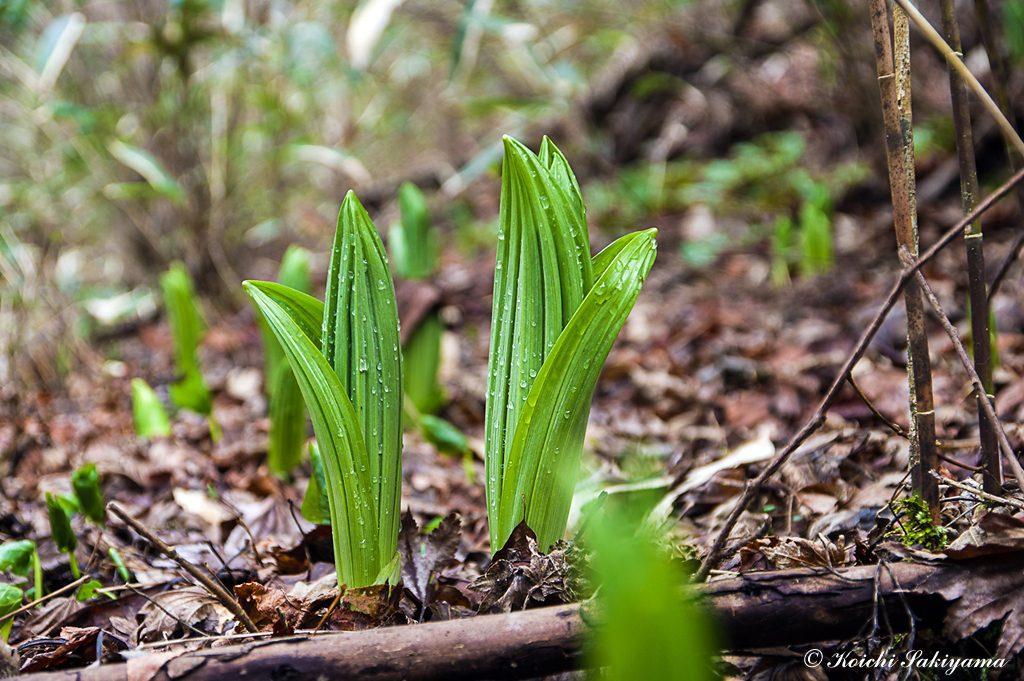 六地蔵尾根からカトラ谷へ…バイケイソウの芽生えが美しい
