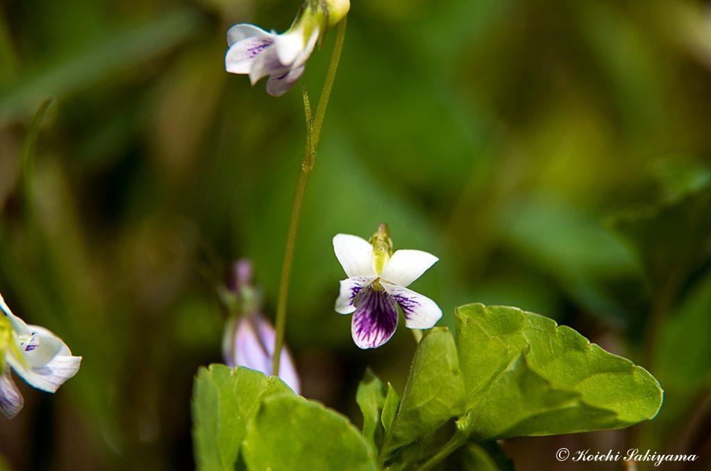 ニョイスミレ、ツボスミレ(如意菫、坪菫、学名:Viola verecunda A. Gray)